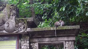 Two cute monkeys in the historic building in the tropical forest of Indonesia. Wild mammals on the exotic island Bali give bright impressions tourists stock video footage