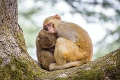 Two cute monkeys sleeping on each other royalty free stock images