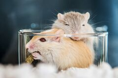 Two cute mouse in love Domestic Gerbil (Gerbillinae)