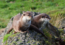 Two cute Otters sitting together on a tree trunk royalty free stock photography