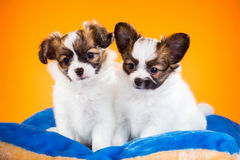 Two cute Papillon puppies on a orange background Stock Photography
