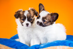 Two cute Papillon puppies on a orange background. Two cute Papillon puppies age of one and a half months on a orange background stock photo