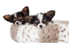 Two adorable papillon puppies resting Stock Photography