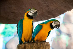 Two cute parrot Ara on tree Royalty Free Stock Images