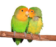 Two Cute Peach Face Love Birds Royalty Free Stock Images