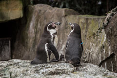 Two cute penguins at zoo in Berlin Stock Photos