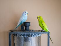 Two cute pet parrots, yellow-green parrot and blue-white parrot