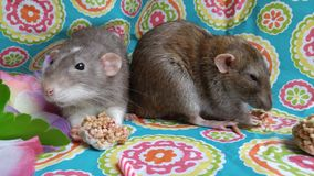 Cute pet rats eating snacks at a party stock photo