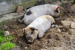 Two cute piglets being lazy. Outside, in the backyard, in a beautiful afternoon in spring Royalty Free Stock Photography