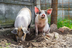 Two cute piglets playing outside. Two cute piglets playing free in the backyard, in a beautiful day of spring Stock Photography