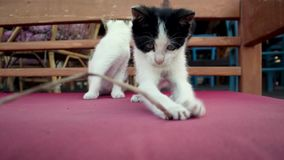 Two cute playful kittens are playing with a sprig. stock video footage