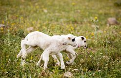 Two cute playful little lambs on meadow. Two cute playful little lambs on fresh green meadow royalty free stock images