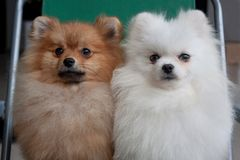 Two cute pomeranian pupp are sitting on a collapsible chair. Pet animals. stock photography
