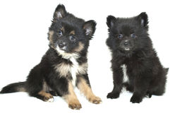 Two Cute Pomeranian Puppies Stock Photography