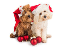 Two cute poodle puppies in santa costume with Christmas ornament Royalty Free Stock Image