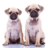 Two cute pug puppy dogs Stock Images