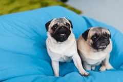 Two cute pugs on blue bean bag chair. At home stock photography