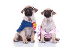 Two cute pugs look up waiting for a halloween treat. One dressed in blue cape and the other in a pink dress, sitting on white background Stock Photography