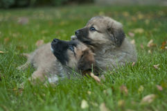 Two cute puppies 1 Stock Image