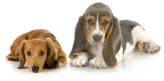 Two cute puppies Stock Image