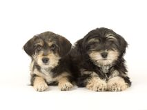 Two cute puppies brothers isolated on white Stock Image