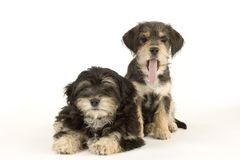 Two cute puppies brothers isolated on white Royalty Free Stock Images
