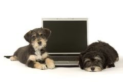 Two cute puppies brothers and a laptop. Isolated Royalty Free Stock Photo