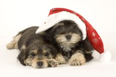 Two cute puppies brothers and santa hat Stock Image