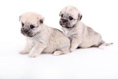 Two cute puppies isolated on white. Shot of Two cute puppies isolated on white Royalty Free Stock Photo