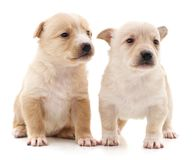 Two cute puppies. On a white background royalty free stock photography