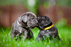Two cute puppies kissing Royalty Free Stock Images