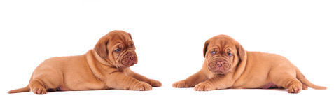 Two cute puppies lying in front of the other Stock Photography