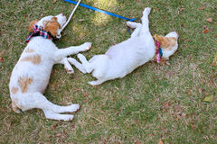 Two Cute Puppies Nap On Grass Stock Photos