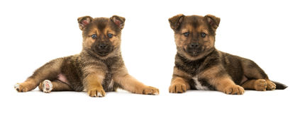 Two cute puppies pomsky royalty free stock photography