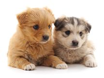 Two cute puppies. Two cute puppies on a white background stock photo