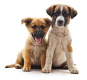 Two cute puppies. Royalty Free Stock Photos