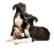 Two cute puppy greyhounds and kitten don sphynx on a white Royalty Free Stock Photos