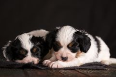 Two sleeping puppies. Two cute puppy of a papillon breed on a wooden background Royalty Free Stock Photography
