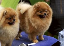 Two cute puppy Pomeranian Spitz on dog show. Street photo. Cropped shot, horizontal, outdoors, side view. Pets concept royalty free stock images