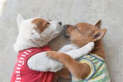 Two cute puppy wearing shirt sleeping due the cold weather. Two cute puppy wearing shirt lying on cement floor due the cold weather Royalty Free Stock Images