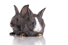 Two cute rabbit Stock Photography