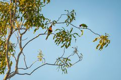 Two cute Rainbow Lorikeet parrots in a gum tree at sunset Royalty Free Stock Images