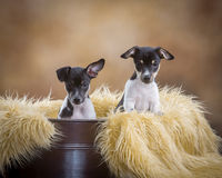 Two cute Rat Terrier puppies Royalty Free Stock Image