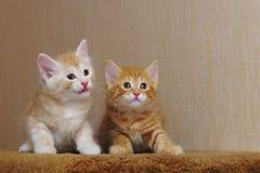 Two cute redhead kitten stock image