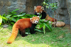 Two cute red pandas eating bamboo Stock Images