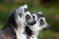 Two cute ring-tailed lemurs Stock Photography