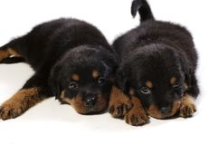 Two Cute Rottweiler Puppies. At white background Royalty Free Stock Images