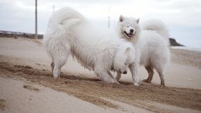 Two cute samoyed dogs are digging sand on the beach. Slowmotion shot.  stock video footage