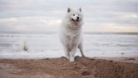 Two cute samoyed dogs are playing on the beach in the sea or ocean together. Slowmotion shot.  stock video footage