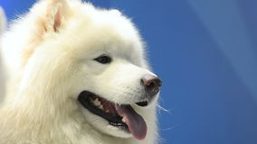 Two cute samoyed dogs. Over a blue background stock video